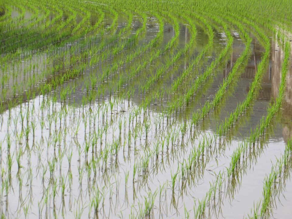 At this time of year the rice fields are full of water and newly planted seedlings. The amount of water across the lowlands is impressive. I've been told that the large expanses of water changes the air temperature compared to other times of year.