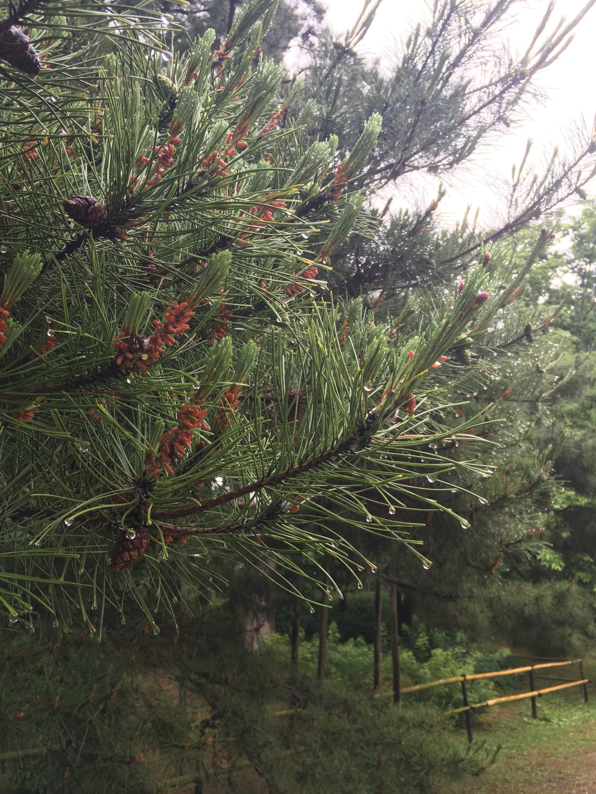 Raindrops sit on the tips of these pine needles after a gentle shower the evening before. The sound of raindrops or water dripping is called potsu-potsu in Japan. I have seen an advertisement for an umbrella that highlights the special sound it makes when the rain falls on it.