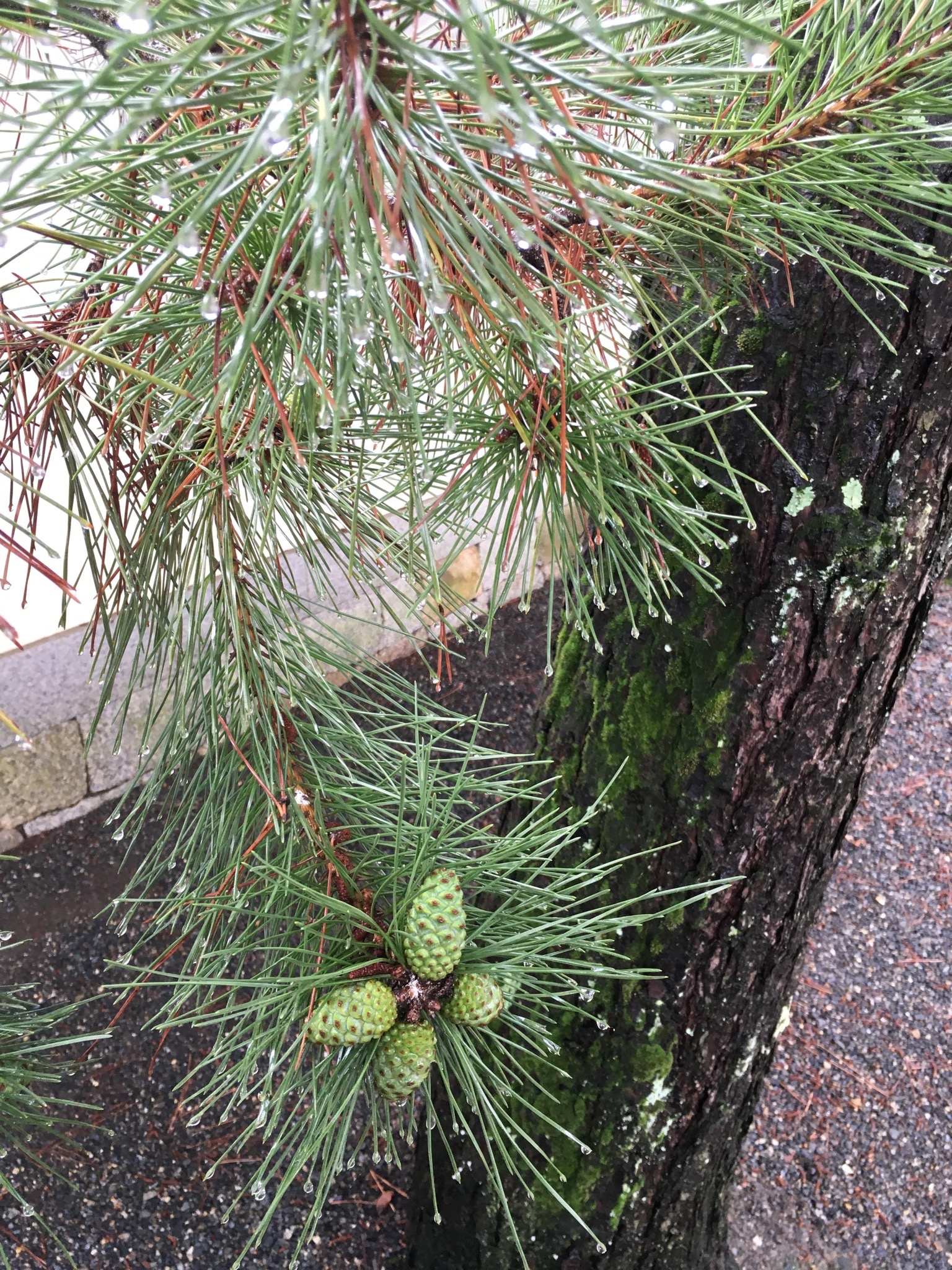 Jewel-like water droplets on the end of pine needles at Myoshin-ji Temple, soon after rain. Also taken on the morning of June 23rd.