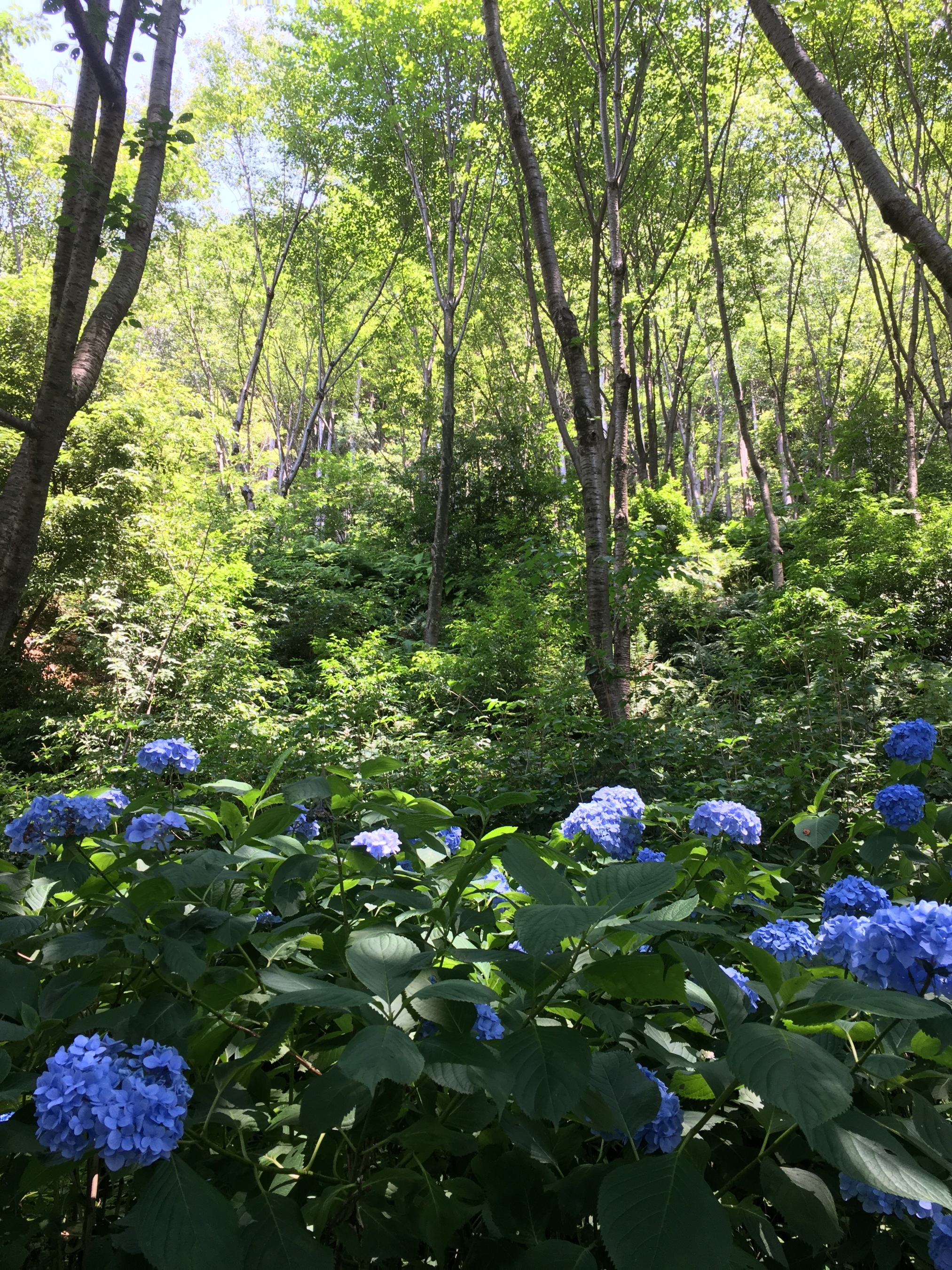 """Another image of the vibrant hydrangeas currently in flower. This image is from the mega-famous Kiyomizu-dera Temple, appropriately called the """"Pure Water Temple""""."""